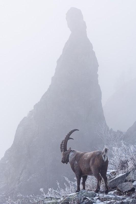 cabra montaña alpes