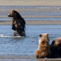 EBM-1685-Alaska, Bear, Chinitna bay, Mammals, United States of America, Ursus arctos