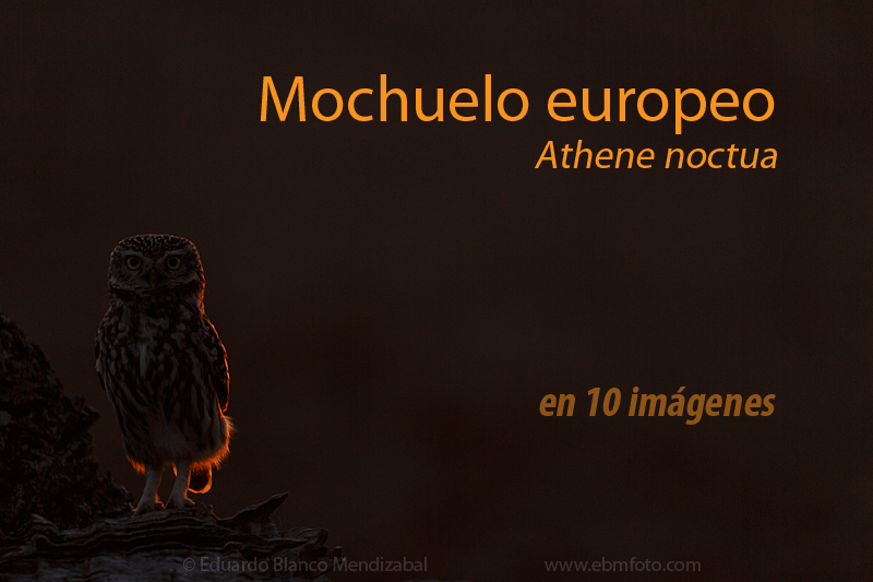 EBM-6034Amazing,-Animals,-Athene-noctua,-Bird,-Corella,-Country,-Little-owl,-Mochuelo-europeo,-Nature,-No-Paseriformes,-Strigidae,-Travel