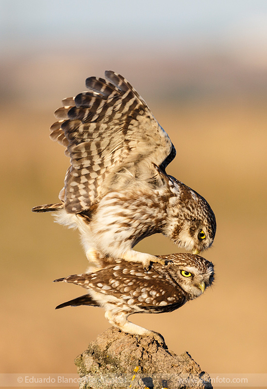 EBM-8067Amazing,-Animals,-Athene-noctua,-Bird,-Country,-Little-owl,-Mochuelo-europeo,-Nature,-No-Paseriformes,-Strigidae,-Travel
