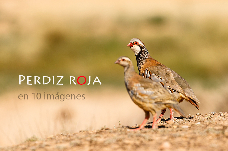 Alectoris-rufa-Red-legged-partridge-