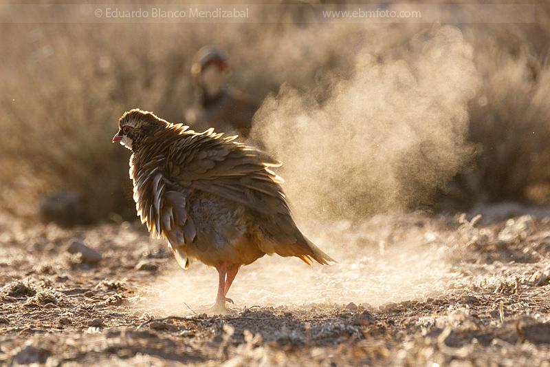 EBM-4931-Alectoris-rufa-Perdiz-roja-Red-legged-partridge
