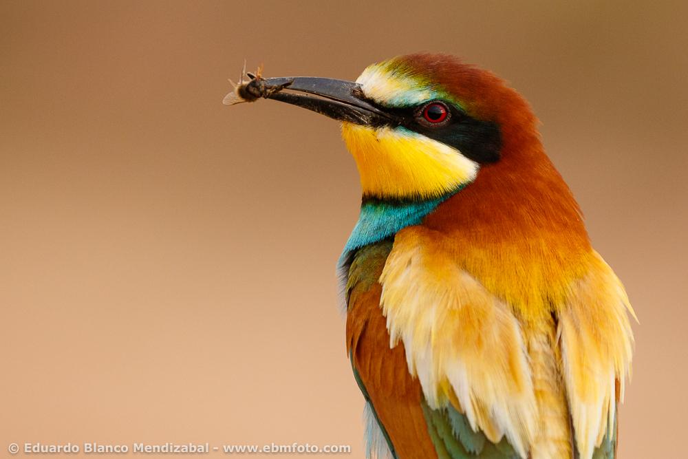 EBM-7919Alfaro, Animals, Bird, La Rioja, Meropidae, Merops apiaster, Nature, No Passeriformes