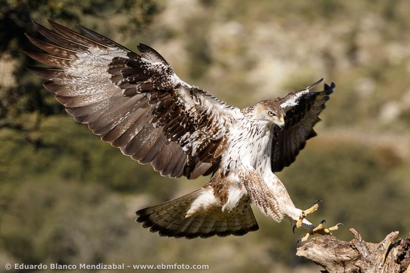 Águila perdicera Águila de bonelli