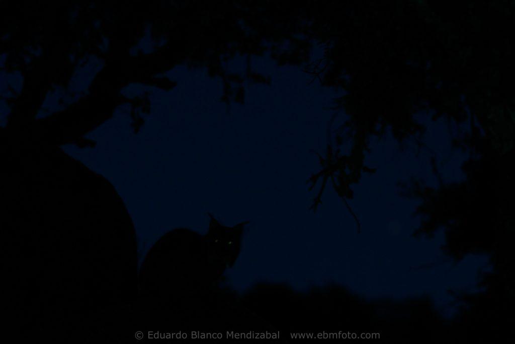 Iberian lynx (Lynx pardina) Sierra de Andujar. Jaen province. Spain. Europe