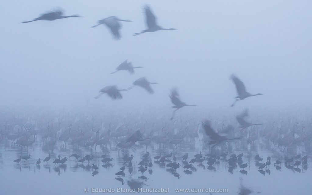 Common crane (Grus grus) and fog. Agamon lake. Hula Valley. Israel