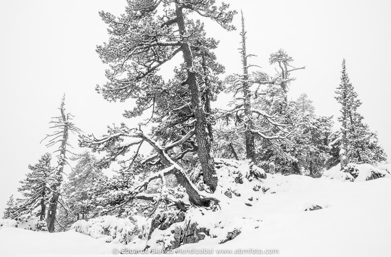 pino negro nieve pinus uncinata navarra