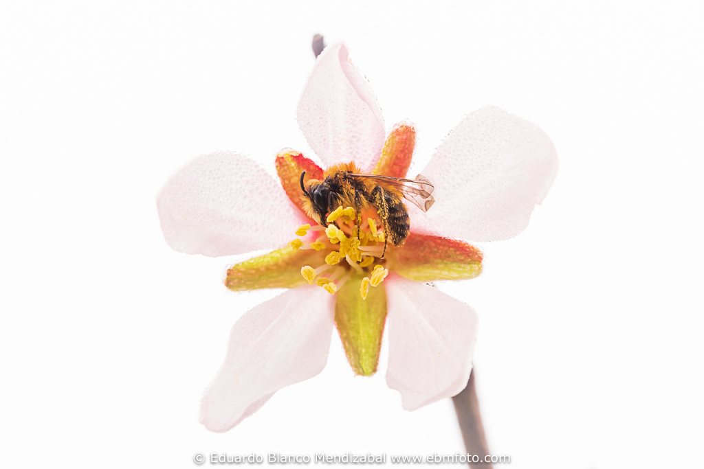 Abeja silvestre durmiendo en flor